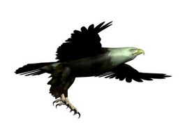 Bald eagle Haliaeetus leucocephalus 3d preview