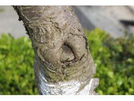 Birch Burl texture