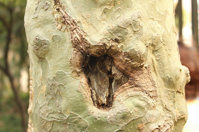 Pitted scars on tree texture