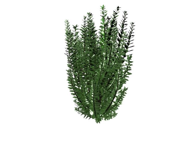 Ligustrum ovalifolium 3d rendering