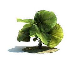 Licuala peltata tree 3d model preview