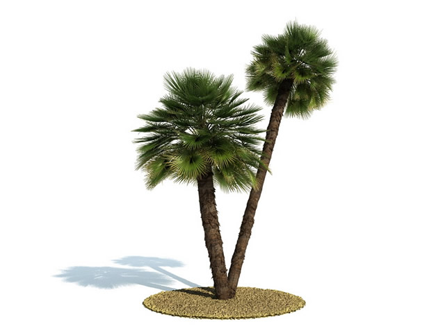 Chamaerops humilis tree 3d rendering