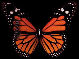 Monarch butterfly 3d model preview