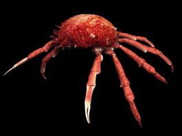 Maja squinado spider crab 3d model preview