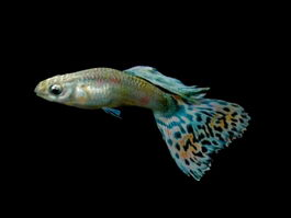 Guppy rainbow fish 3d model preview