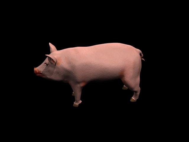 Domestic pig 3d rendering