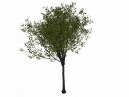 Sweet cherry tree 3d model preview