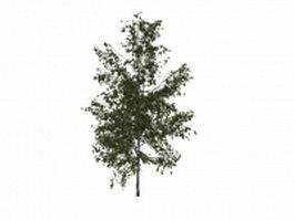 Silver birch tree 3d model preview