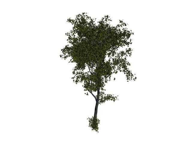 White basswood tree 3d rendering