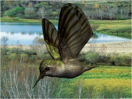 Black-chinned hummingbird 3d model preview