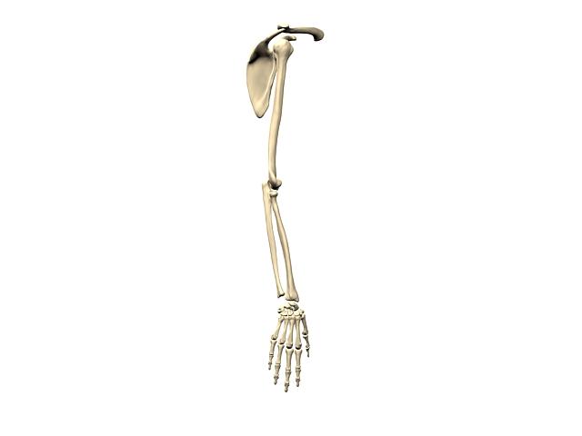 Bones of upper limb 3d rendering