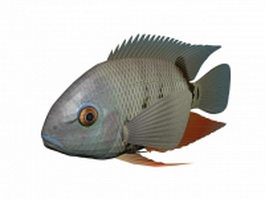Turquoise severum fish 3d preview
