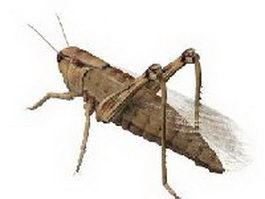 Immature grasshopper 3d preview