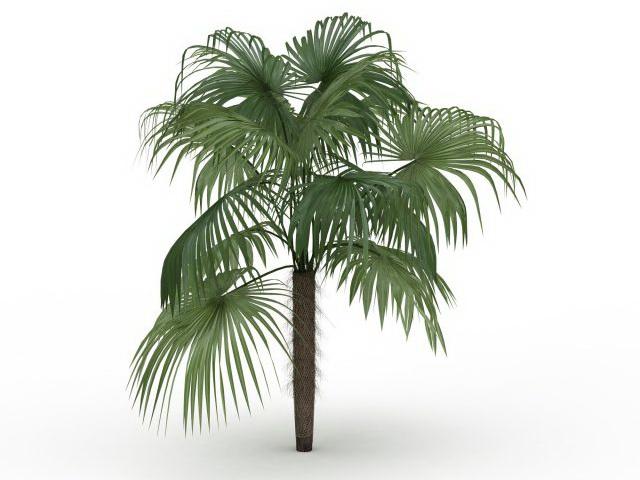 Chinese fan palm tree 3d rendering
