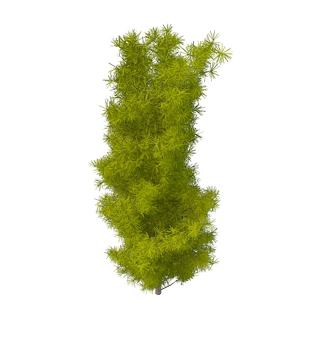 Longleaf pine tree 3d rendering