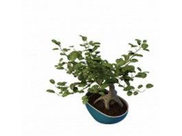 Ficus bonsai tree 3d preview