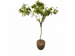 Sweet bay tree in pot 3d preview