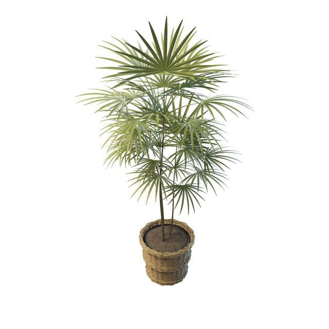 Potted fan palms 3d rendering