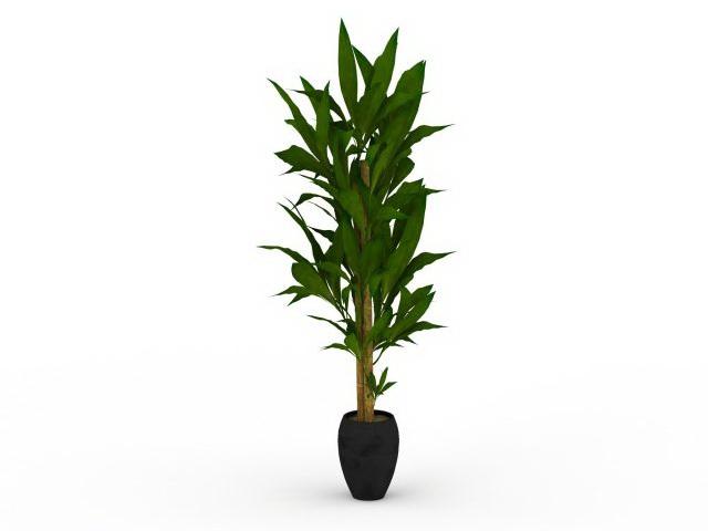 Indoor dracaena corn plant 3d rendering