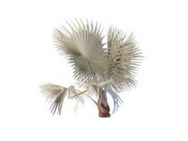 Bismarckia palm 3d model preview