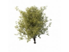 Chinese dwarf cherry tree 3d model preview