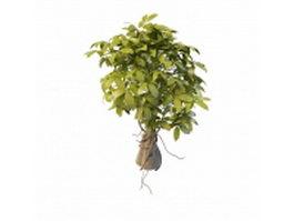 Ornamental ficus tree 3d model preview