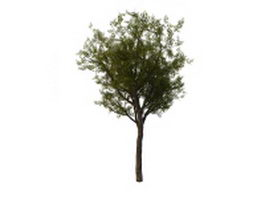 Chinese scholar tree 3d model preview