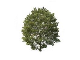 European hornbeam tree 3d preview