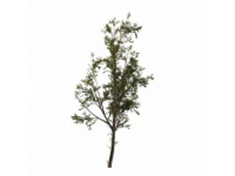 Cottonwood tree 3d model preview