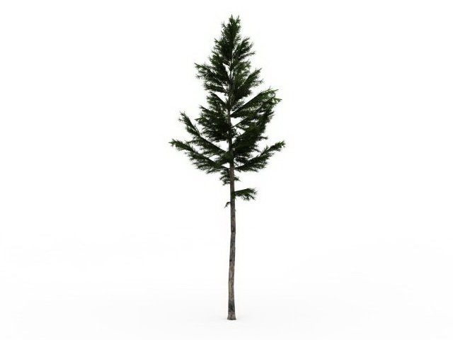 White spruce tree 3d rendering
