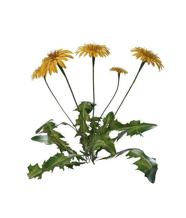 Dandelion plant with flowers 3d rendering