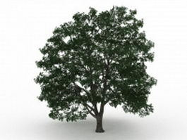 American basswood tree 3d model preview