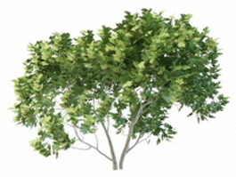 European maple tree 3d preview
