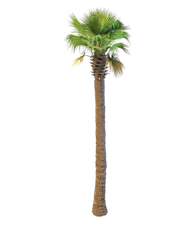 Asian fan palm 3d rendering