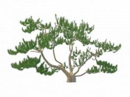 Scrub mountain pine 3d model preview