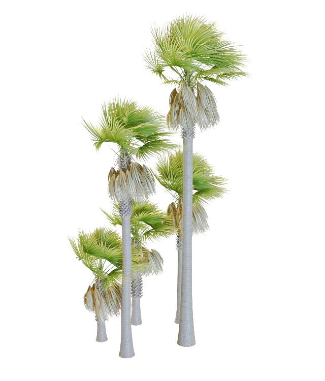 Varieties of palmyra palm trees 3d rendering