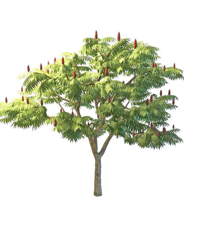 Staghorn sumac tree 3d rendering