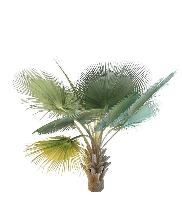 Bismarckia Nobilis Palm 3d rendering