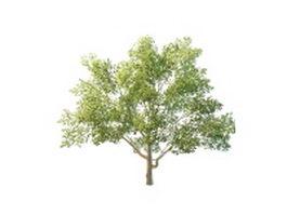European beech tree 3d model preview