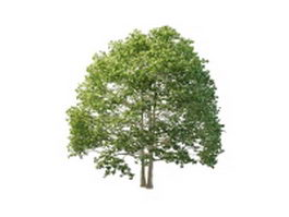 North American beech tree 3d model preview