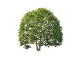 Texas white ash tree 3d preview