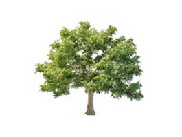 Canadian maple tree 3d model preview