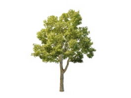 North American oak tree 3d model preview
