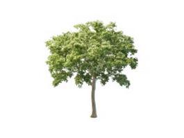 White elm tree 3d model preview