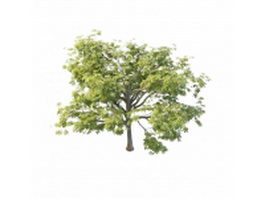 North America chestnut tree 3d model preview