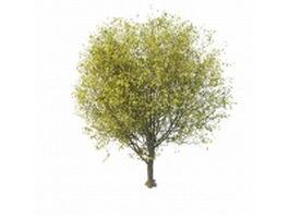 German Cherry tree 3d model preview