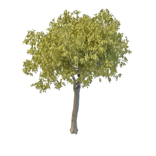 Broad leaf willow tree 3d rendering