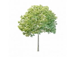 Young hornbeam tree 3d model preview
