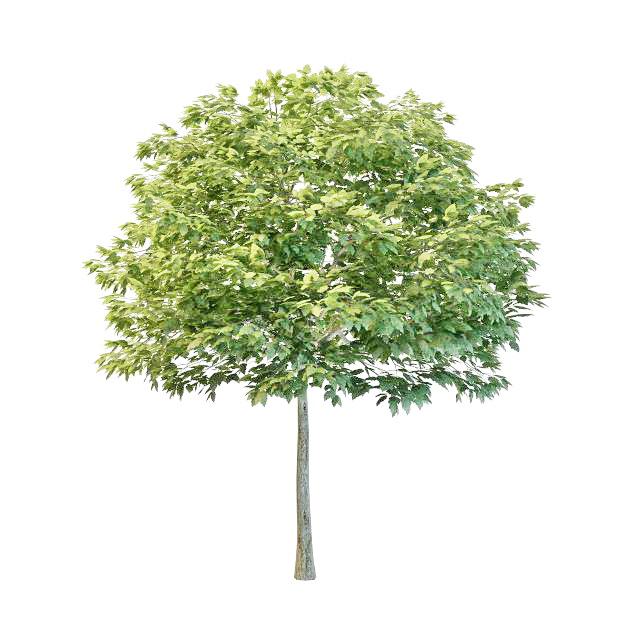 Young hornbeam tree 3d rendering
