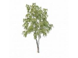 North America gray birch tree 3d model preview